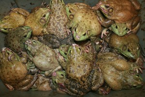 1024px-Frogs_for_sale